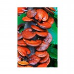 BIO Lesklokôrovka obyčajná (Reishi, Ganoderma Lucidum) sušená celá 1 ks